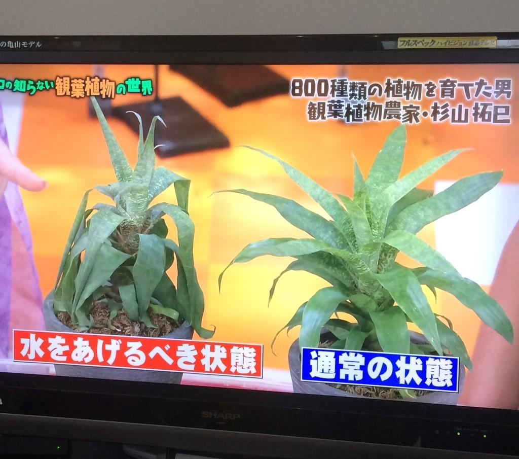 マツコの世界 観葉植物 水やり