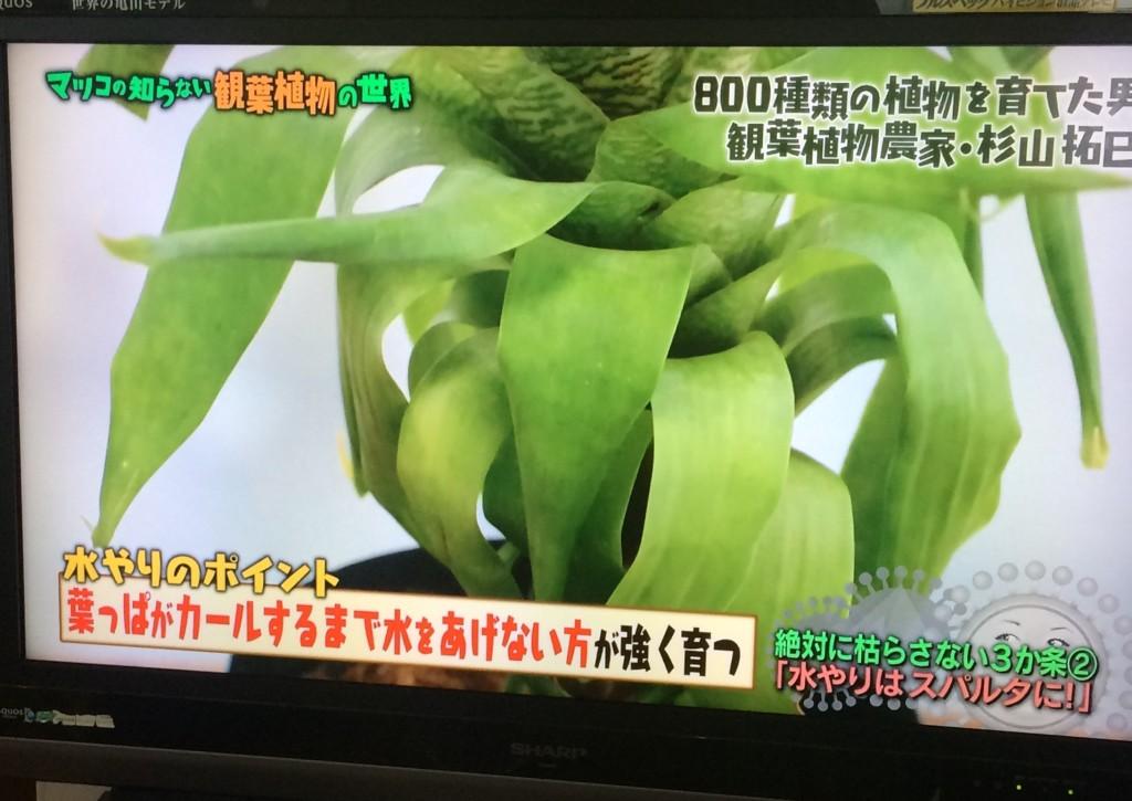 マツコの世界 観葉植物 枯渇