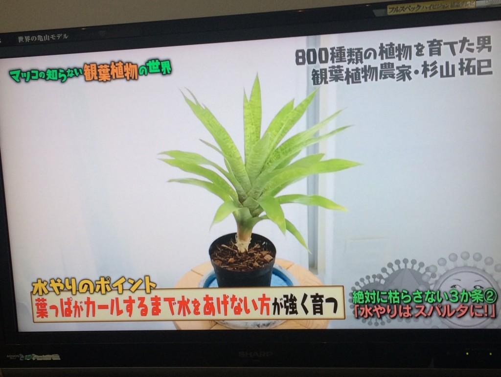 マツコの世界 観葉植物 枯らさない