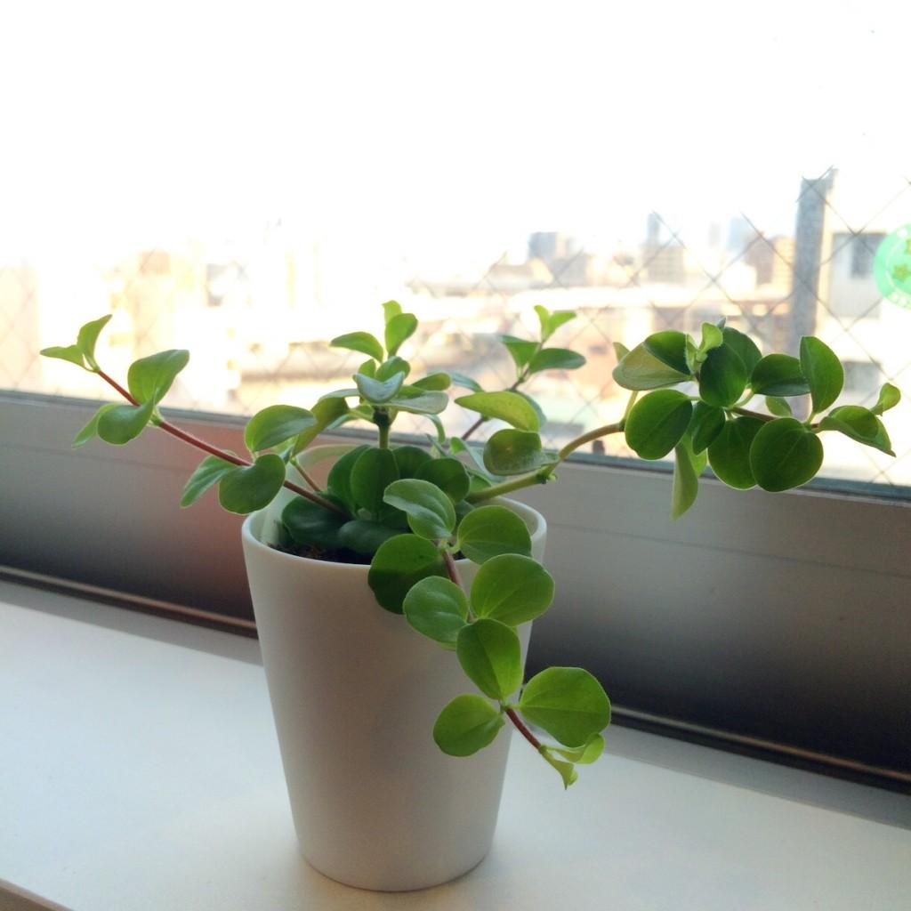 観葉植物 ミニ 無印良品 インテリア 育て方 枯れない おしゃれ リビング 窓際 育て方 マツコの知らない世界 水やり