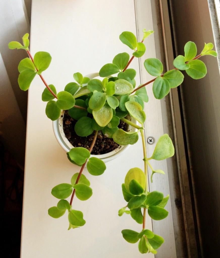 観葉植物 ミニ インテリア 育て方 枯れない おしゃれ リビング 窓際 育て方 マツコの知らない世界 水やり